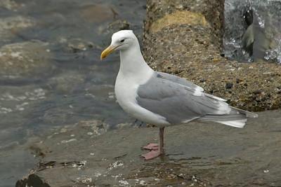 Gull - Glaucous-winged - Juneau, AK