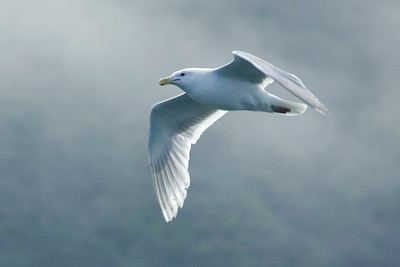 Gull - Glaucous-winged - Glacier Bay, AK - 01