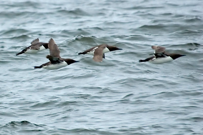 Murre - Common - Moclips, WA