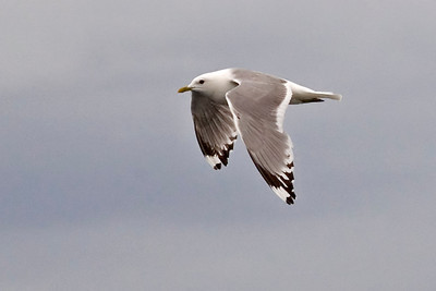 Gull - Mew - Fredrick's Sound, AK - 02