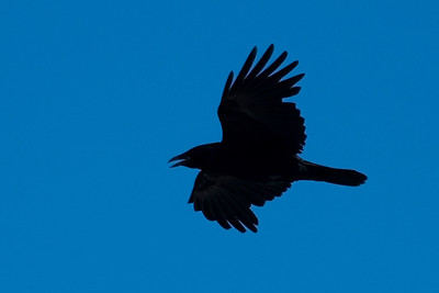 Raven - Common - Damon Point State Park - Ocean Shores, WA