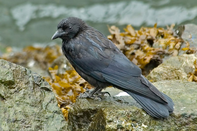 Crow - Northwestern - Juneau, AK