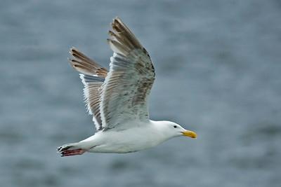 Gull - Herring - Moclips, WA