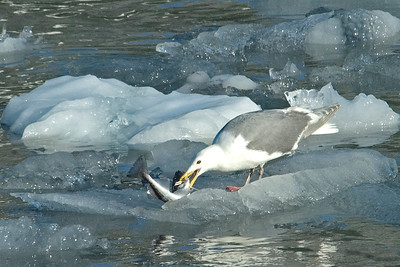 Gull - Glaucous-winged - Glacier Bay,  AK - 02