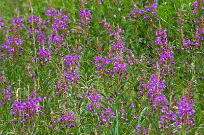 Fireweed - Eagle Harbor - Juneau, AK - 02