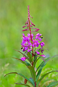 Fireweed - Eagle Harbor - Juneau, AK - 01