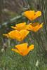 Poppies - Damon Point State Park - Ocean Shores, WA