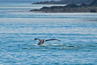 Humpback Whale - Glacier Bay, AK - 08