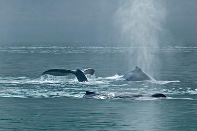 Humpback Whale - Glacier Bay, AK - 05
