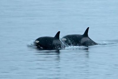 Orcas - Fredrick's Sound, AK