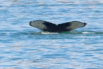 Humpback Whale - Glacier Bay, AK - 04