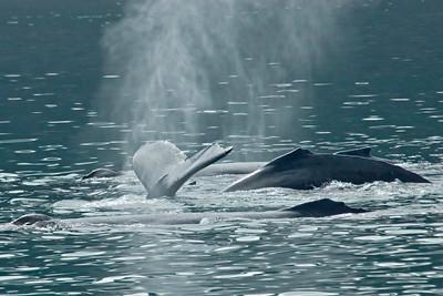 Humpback Whale - Glacier Bay, AK - 06