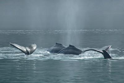 Humpback Whale - Glacier Bay, AK - 03