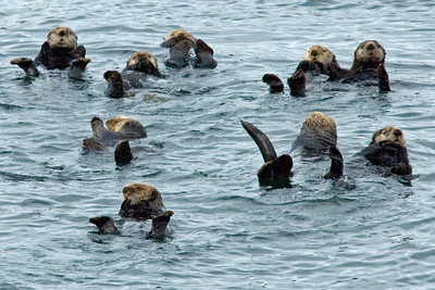 Sea Otters - Glacier Bay, AK