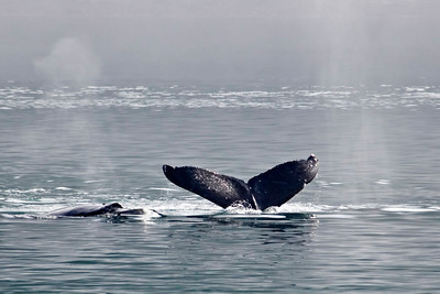 Humpback Whale - Glacier Bay, AK - 07