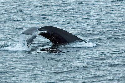 Humpback Whale - Frederick's Sound, AK - 02