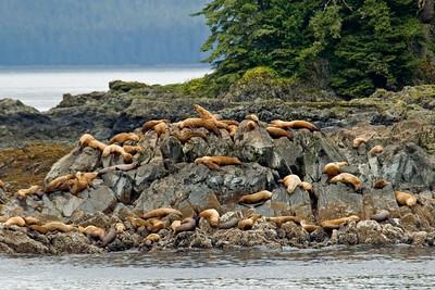 Stellars Sea Lions - Fredrick's Sound, AK