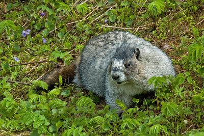 Hoary Marmot - Mount Roberts - Juneau, AK