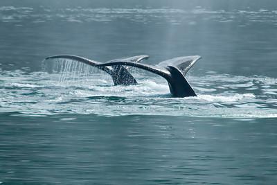 Humpback Whale - Glacier Bay, AK - 01