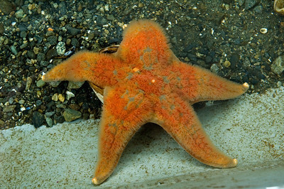 Sea Star - Fish Hatchery - Sitka, AK - 04