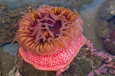 Pink Anemone - Fish Hatchery - Sitka, AK - 03
