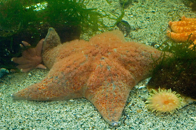 Cushion Sea Star - Salmon Hatchery - Juneau, AK-01