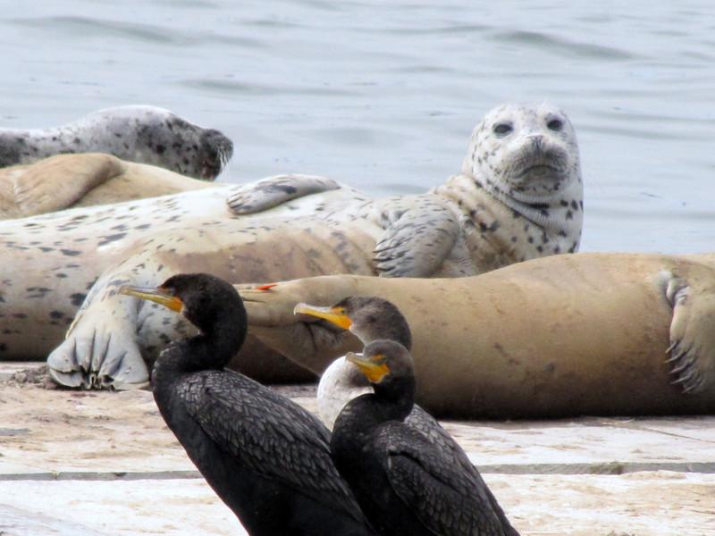 Phalacrocorax auritus, Double-crested Cormorant  and Phoca vitulina, Harbor Seal, Crescent City Harbour