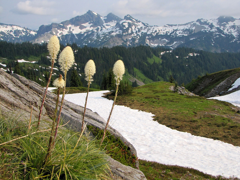 Xerophyllum tenax (Paradise, Mount Rainier, Washington)