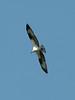 Pandion haliaetus, Osprey, (NL: Visarend) (near Annacortes, Washington)