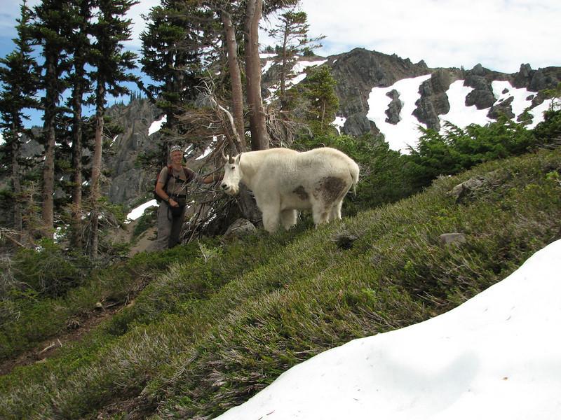 ohh he is big.....Oreamnos americanus, Mountain Goat, (Scree on northside of Klahane Ridge, Olympic Mountains)