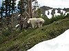ohh he is big.....Oreamnos americanus, Mountain Goat, (Scree on northside of Klahane Ridge, Olympic Mountains)