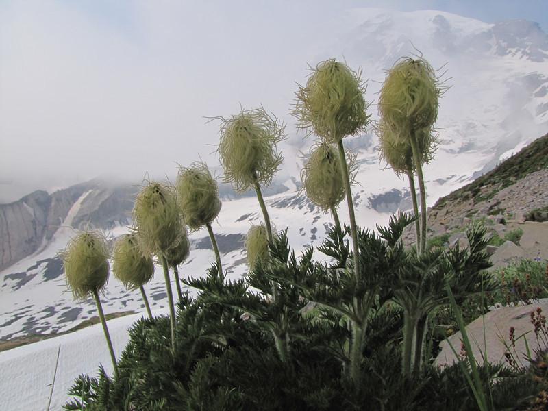 Anemone occidentalis, in seed (Mount Rainier N.P. Washington) Skyline Trail