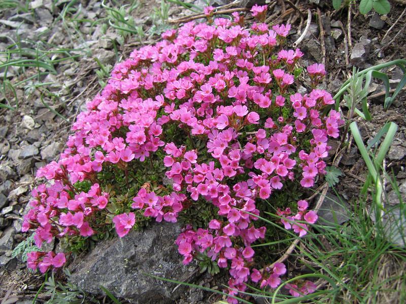 Douglasia laevigata var. ciliolata (trail to Mount Townsend from upper trailhead)