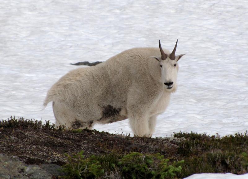 Oreamnos americanus, Mountain Goat, (Scree on northside of Klahane Ridge, Olympic Mountains)