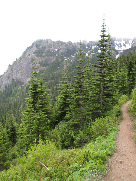 Abies procera (trail to Mount Townsend from upper trailhead)