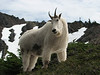Oreamnos americanus, Mountain Goat, (Scree on northside of Klahane Ridge, Olympic Mountains)(photo Kees Jan)