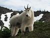Oreamnos americanus, Mountain Goat, (Scree on northside of Klahane Ridge, Olympic Mountains)(photo Kees Jan)