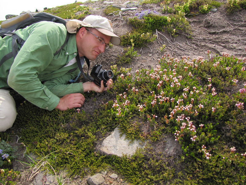 Kees Jan take a picture of the basterd, Phyllodoce x intermedia, the hybrid between P. glanduliflora and P. empetriformis (Skyline Trail, Mount Rainier National Park, Washington)
