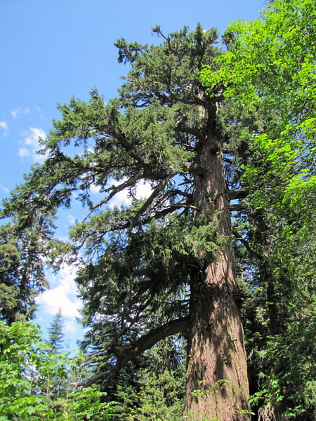 Pseudotsuga menziesii (Big Tree Trail, Oregon Caves National Monument)