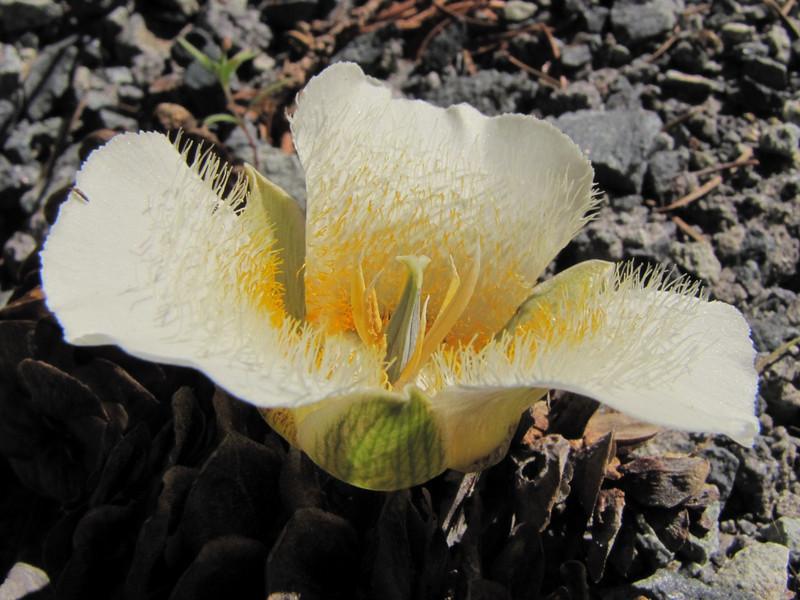 Calochortus subalpinus (just on road to Timberline Lodge, from road 26, Mount Hood, Oregon)