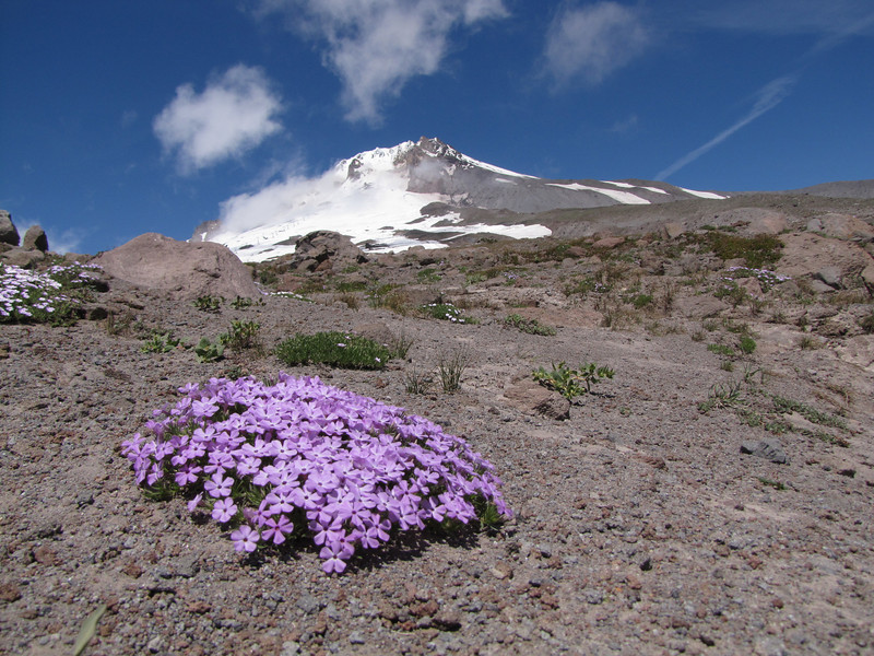 Phlox diffusa (Mountaineer Trail, South-side Mt. Hood 3426m)
