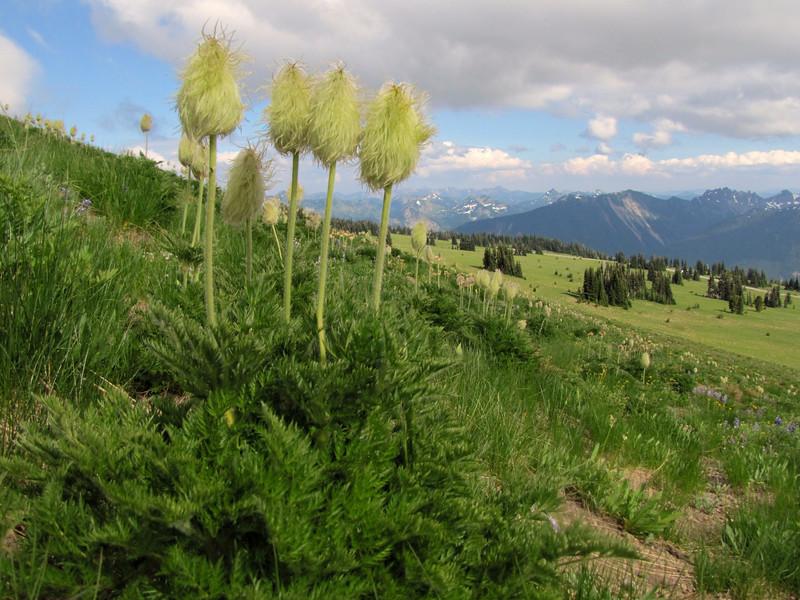 Anemone occidentalis in fruit (Sunrise, Mount Rainier National Park, Washington)