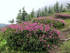 Phyllodoce empetriformis (Skyline Divide Trail, near Mount Baker, Washington)