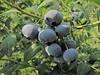 Blueberry in blueberry field (Skagit Valley, Washington)