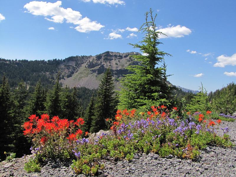 Castilleja spec. (Along Caldera Road, just before junction to Lost Creek Campground, Crater Lake National Park, Oregon)