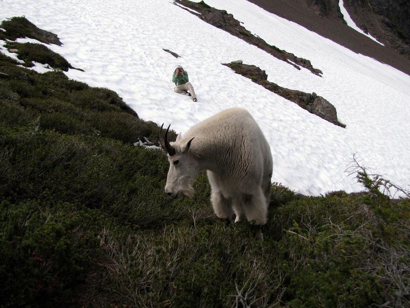 Kees Jan takes pictures of Oreamnos americanus, Mountain Goat, (Scree on northside of Klahane Ridge, Olympic Mountains)
