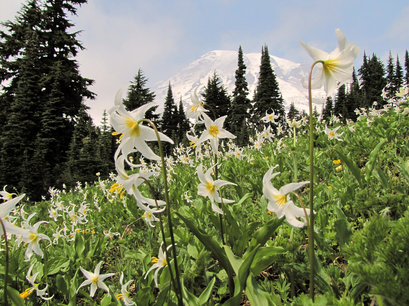 Paradise, Mount Rainier NP, Skyline Trail