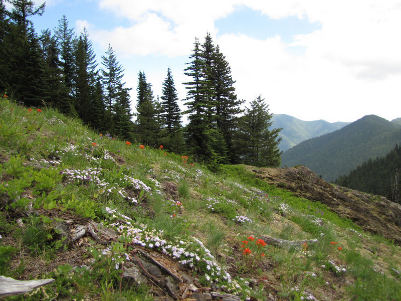 Phlox diffusa and Castilleja spec. (trail to Mount Townsend from upper trailhead)