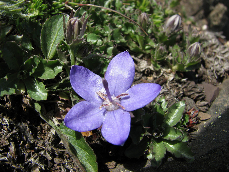 the endemic Campanula piperi (Klahane Ridge from Switchback Trail, Olympic Mountains)