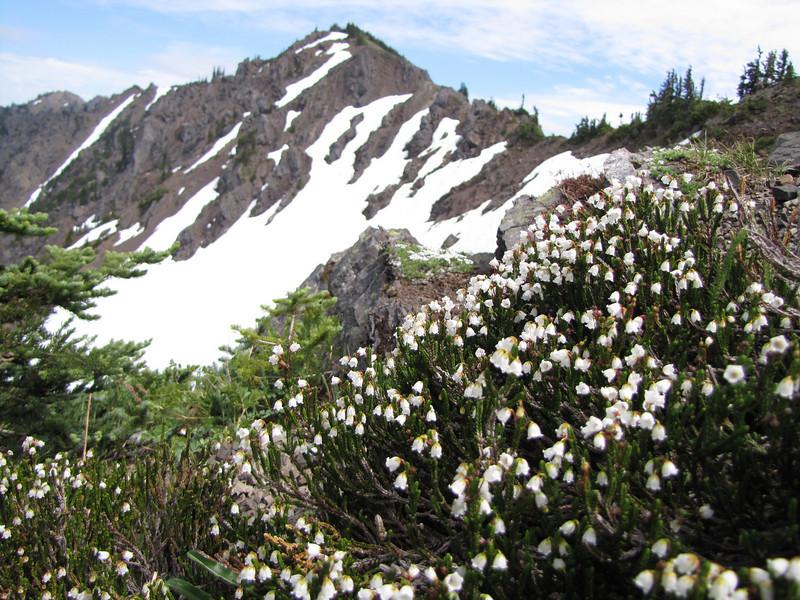 Cassiope mertensiana (Scree on northside of Klahane Ridge, Olympic Mountains)